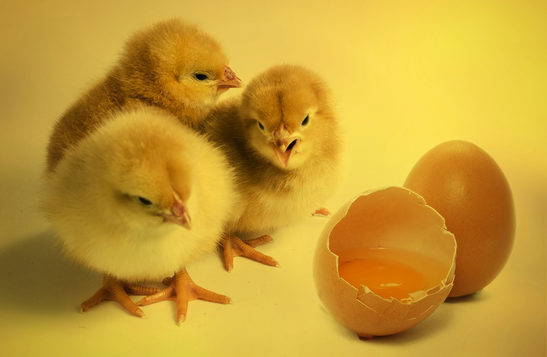 chicks-2965846_1920