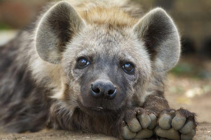 Hyena supreme court henry schein arbitration