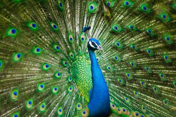 Independent contractor misclassification NLRB peacock