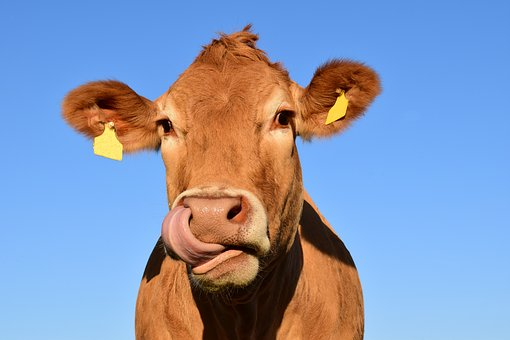 Independent contractor ABC Test cow